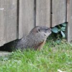 George the ground hog